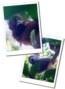 Young Orang Utans in the trees of the Danum Valley, Borneo jungle