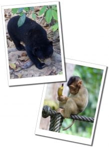 Sun bear and a macaques Monkey at Sepilok Sanctuary, In Borneo