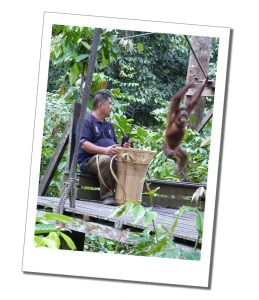 3 Amazing Ways To See Orangutans In Borneo. A young Orang-utan swings on a rope at Sepilok Sanctuary, In Borneo