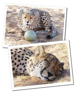 Solitaire Guest Farm, a sanctuary for cheetahs & a release site for problem carnivores linked to N/a'ankuse, Wildlife Sanctuary