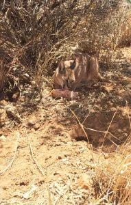 A beautiful Caracal eating a carcass in the shade of a bush, N/a'ankuse, Namibia, Africa. Volunteering at a wildlife sanctuary in Namibia - Week One