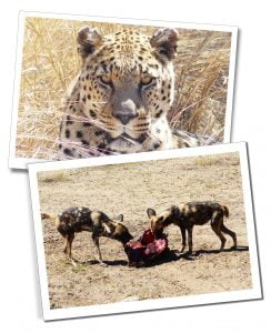 Leopard and Wild Dogs, N/a'ankuse, Namibia, Africa.