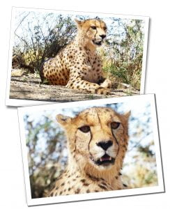 Volunteering opportunity. You could offer to teach in schools, help in a community building project or work with animals like here in Namibia with Cheetahs - Travel for singles over 40