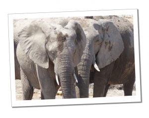 lephants during an excursion at Estosha National Park, N/a'ankuse, Namibia