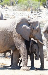 Mother and Baby Elephant at a water hole during an excursion at Estosha National Park