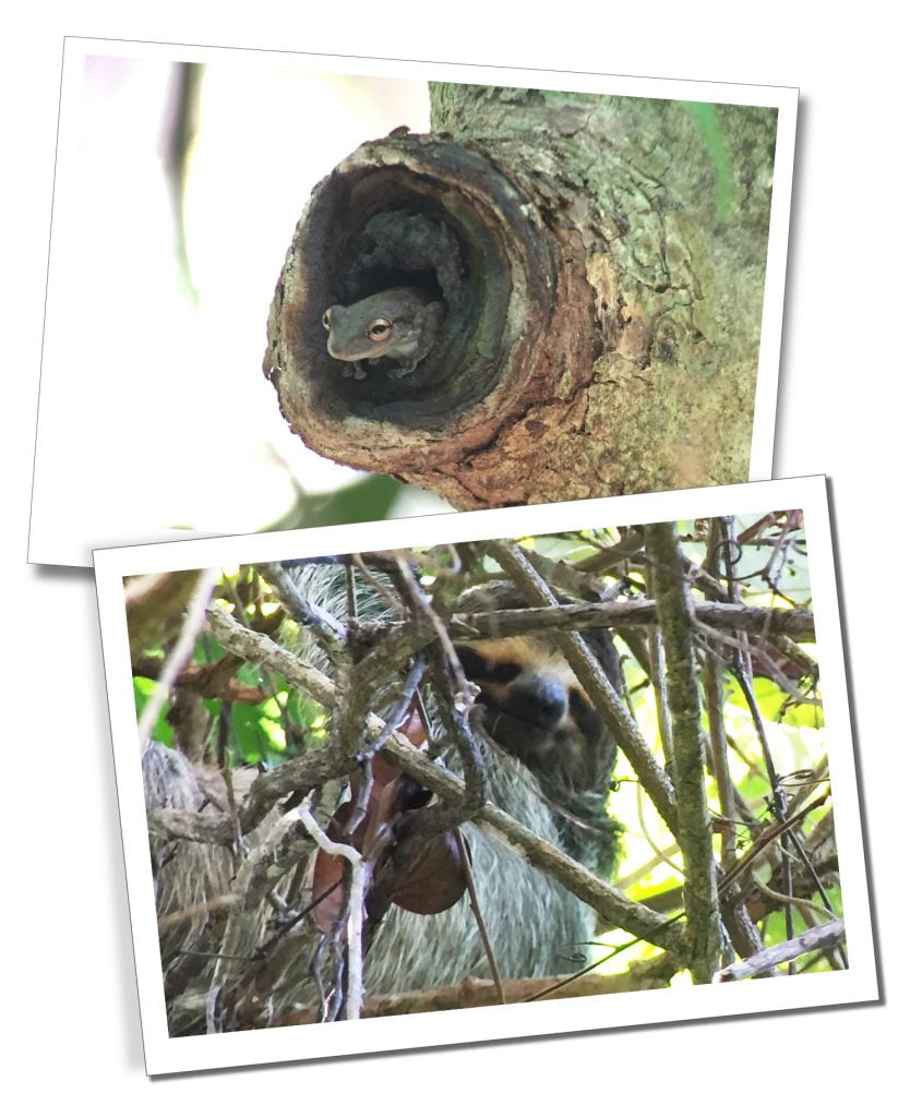 The Wildlife of Quepos at Manuel Antonio National Park, Costa Rica, includes Tree Frogs and Sloths