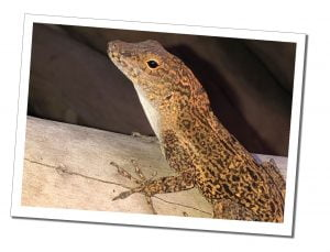 Speckled Mero Lizard, motionless on a log, Dominica