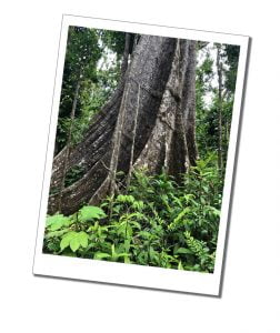 Old tree at Syndicate Parrot reserve, Dominican hiking, national parks, Caribbean