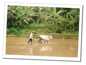 A Farmer in the water with bull and plough, Pangandaran, Indonesia - Crazy Travel Stories