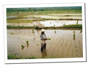 Villager harvesting in a paddy field, Indonesia, Siberut - Crazy Travel Stories