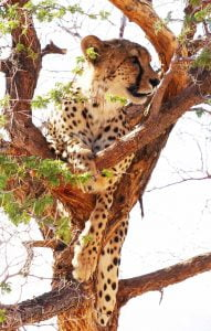 A close up of a beautiful cheetah watching from a tree. Fantastic 6 Dunes & Wildlife Tour of Namibia