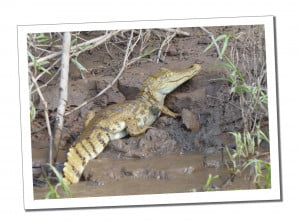 Peru Itinerary – 3 Weeks to Discover the Wonders of Peru, Amazon Caiman