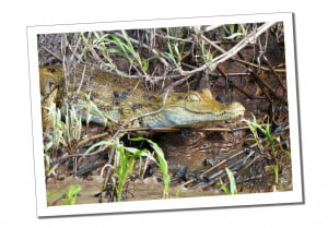 Caiman, 10 Essential Things to Know before Visiting the Amazon in Peru