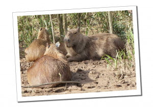 Capybara, 10 Essential Things to Know before Visiting the Amazon in Peru
