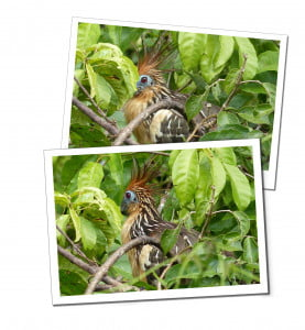Hoatzin, 10 Essential Things to Know before Visiting the Amazon in Peru